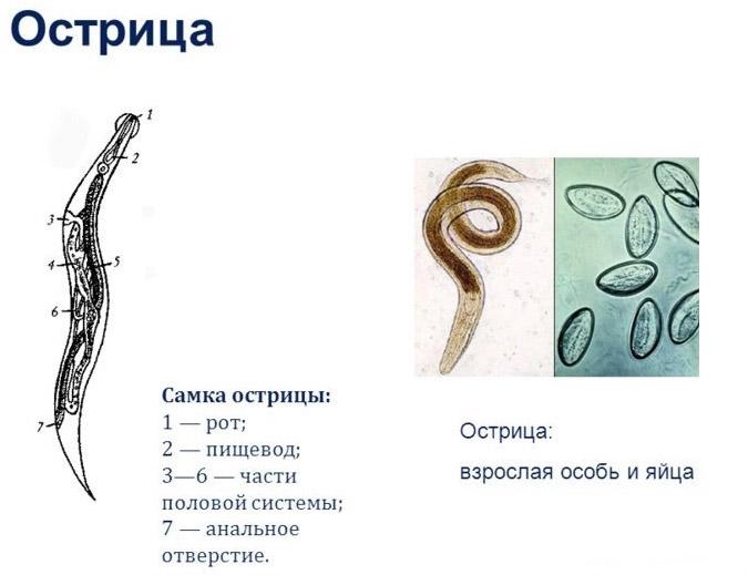 enterobiosis biomateria